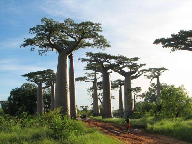 baobab_tree_13